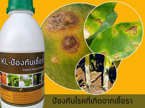 ป้องกันโรคใบจุดในพืชตระกูลส้ม