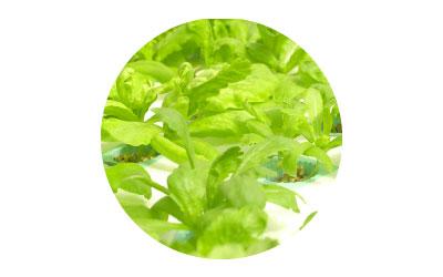 การใช้ไคโตซานในผักกินใบ
