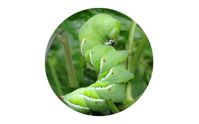 การใช้ไคโตซานป้องกันแมลงศัตรูพืช