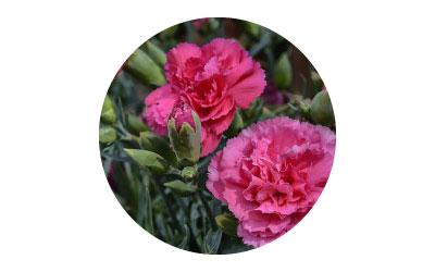 การใช้ไคโตซานในไม้ดอกไม้ประดับ