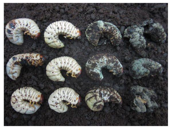 กลไกการเข้าทำลายแมลงศัตรูพืชของเชื้อราเมธาไรเซียม